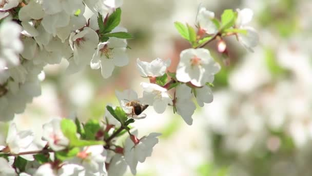 cherry blossoms, spring. A bee collects pollen