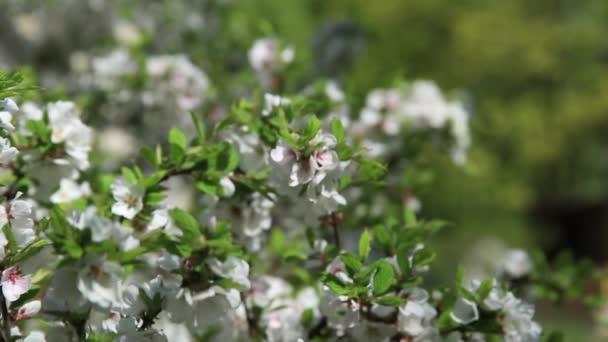 Třešňové květy, jaro. Rasfokus