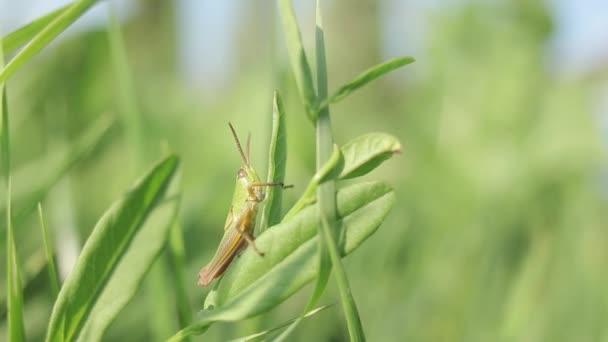Kobylka, hmyzu, kobylka zelená