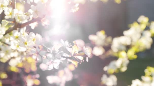tavaszi háttér egy virágzó fa ága