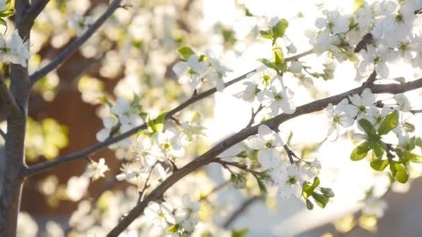 tavaszi fehér virág és a méh-lassú mozgás