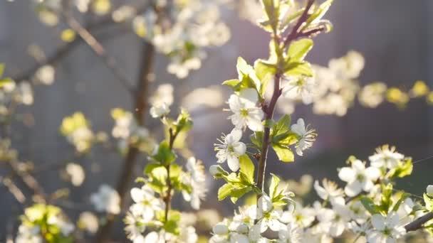 fehér cseresznye virágok teljes virágzás, ban lassú mozgás