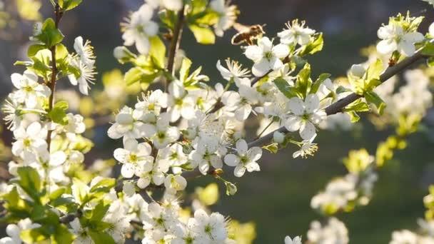 jarní bílé květiny a včely v pomalém pohybu