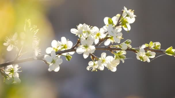 bílý třešňových květů v plném květu v pomalém pohybu