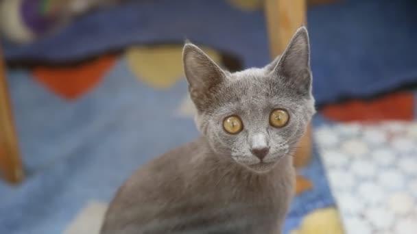 Gray british cat with bright yellow eyes looking at the camera.