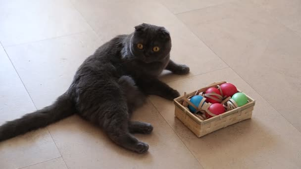 British cat playing with easter eggs
