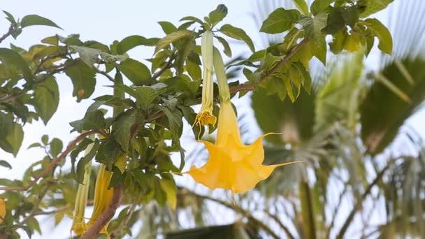 Krásné žluté anděly trubka květina také známý jako Brugmansia
