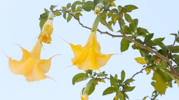Beautiful yellow angels trumpet flower also known as Brugmansia.