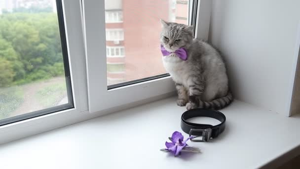 Anglická kočka nosí motýlka