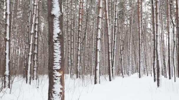 zimní jehličnatého lesa