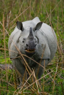 Portrait of Indian rhinoceros