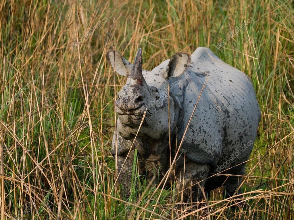 Portrait of Indian rhinoceros