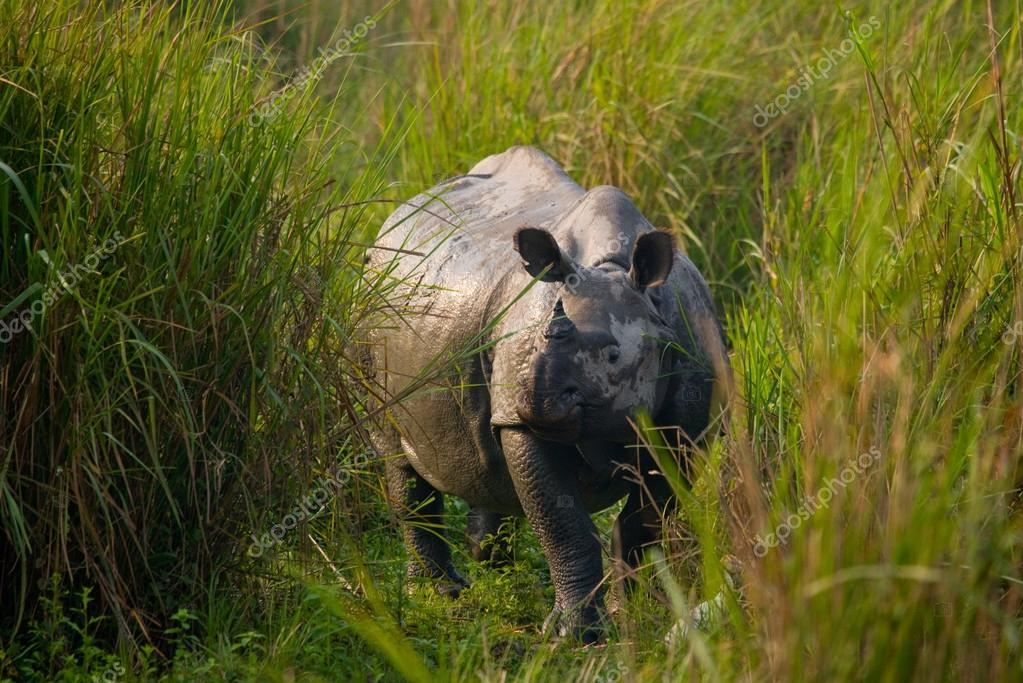 Big Indian rhinoceros