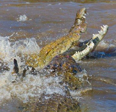 Crocodiles in the river Mara.
