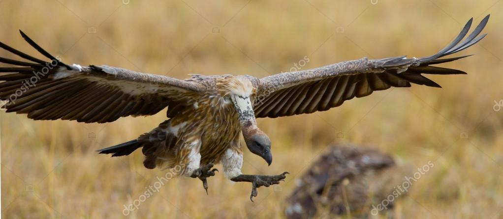 Drapieżny Ptak W Locie Zdjęcie Stockowe Gudkovandrey 115936496