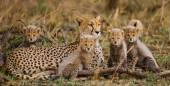 Gepardi rodina venku