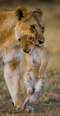 Two young lion in the savanna