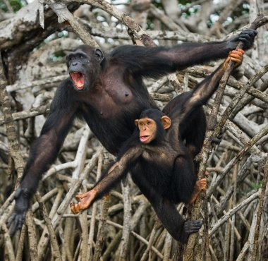 Two Young Chimpanzee outdoors