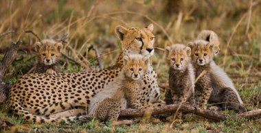 Cheetahs family outdoors