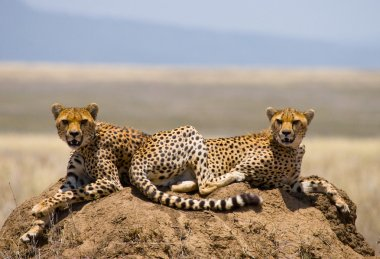 Two cheetahs in the savannah.