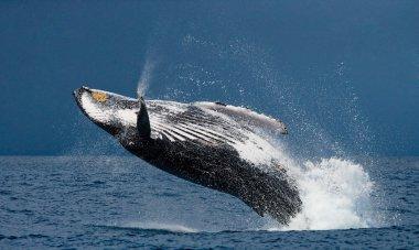 Jump humpback whale,