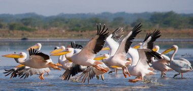 Flock of great pelicans