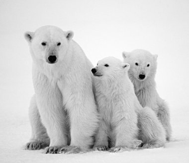 White polar bears
