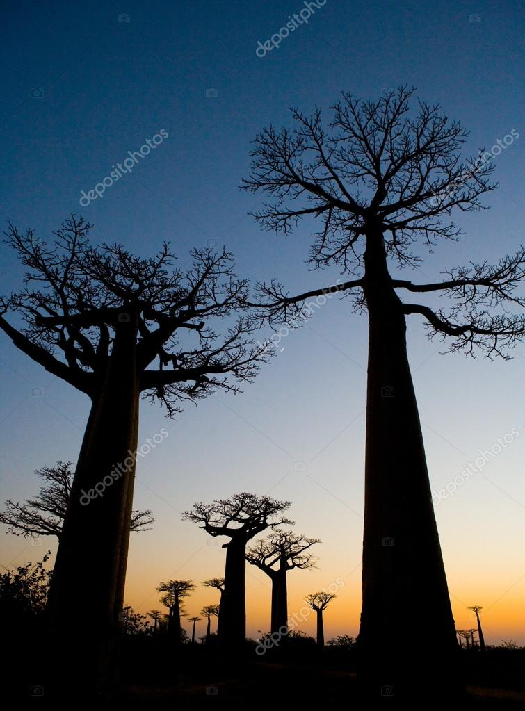 Baobabs at sunrise background