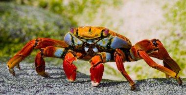 Yellow land crab