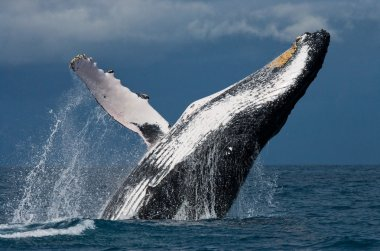 Humpback Whale Jumping Out Of The Water