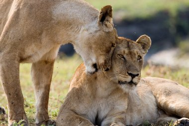 Two young lions in the savanna.