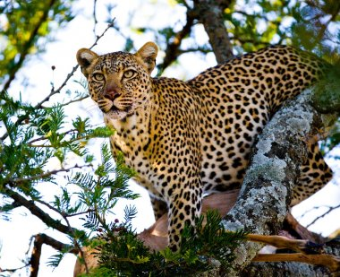 Leopard close up on the tree