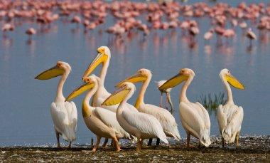 Pelicans on flamingos background