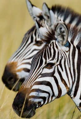Two zebras close up
