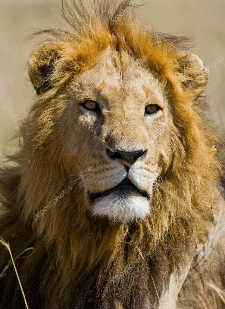 portrait d 39 un lion d 39 afrique photographie gudkovandrey 71495031. Black Bedroom Furniture Sets. Home Design Ideas