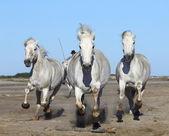 cavalli camargue bianco