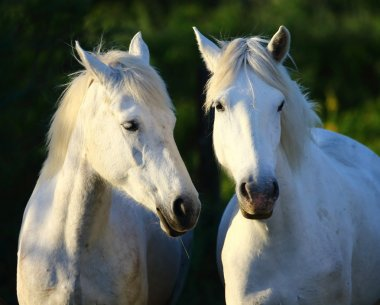 Portrait of gorgeous horses,