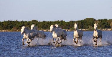 White Camargue Horses