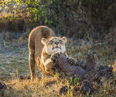 Female lion sharpening claws