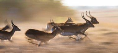 Adult african gazelles  running