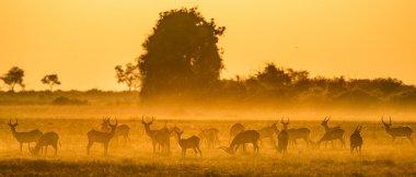 Herd of gazelles grazing at sunset