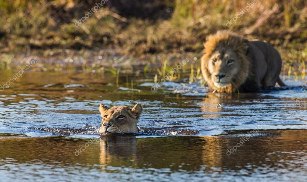 Lions swimming in river,