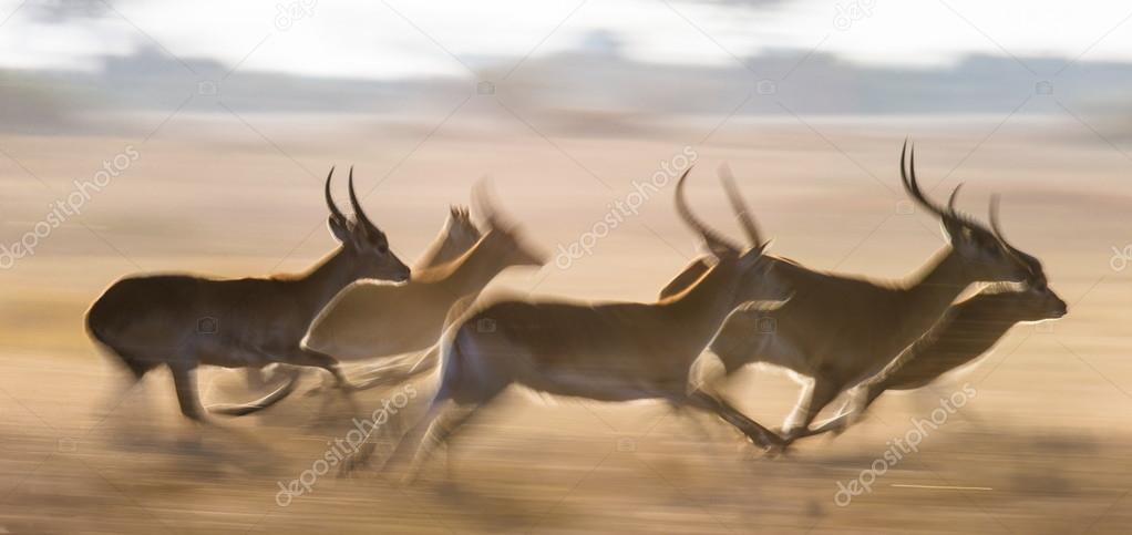Adult african gazelles  running