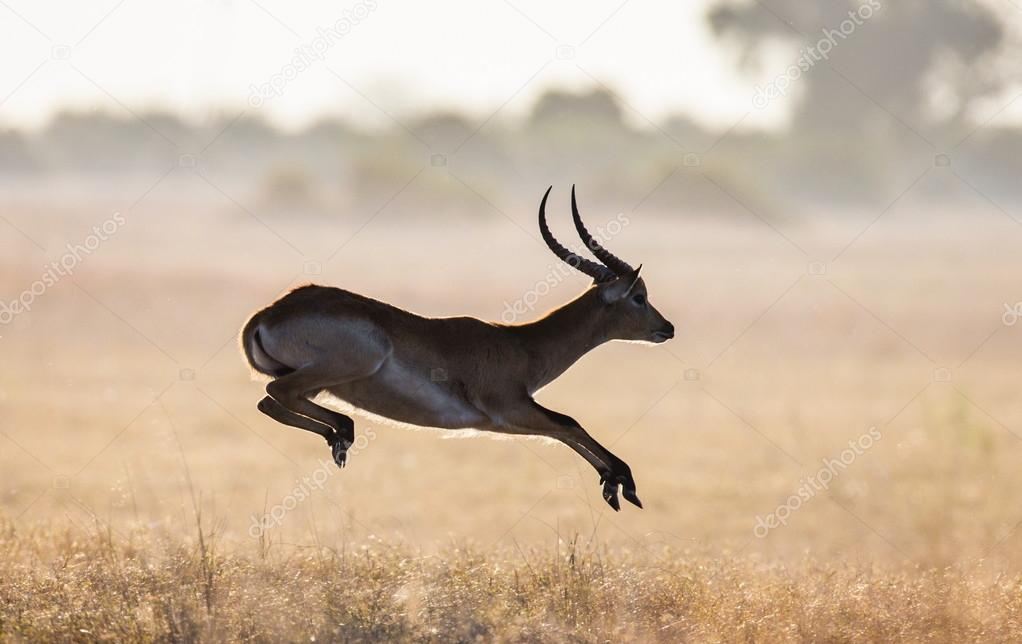 Adult gazelle running in savanna