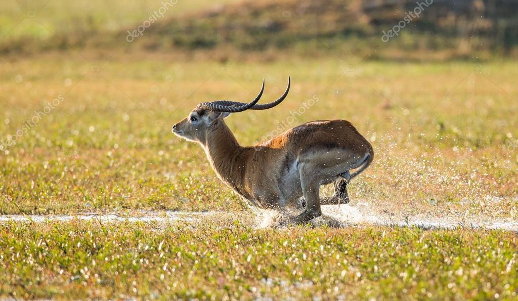 Adult gazelle running in savanna Stock Photo by ©GUDKOVANDREY 76764563