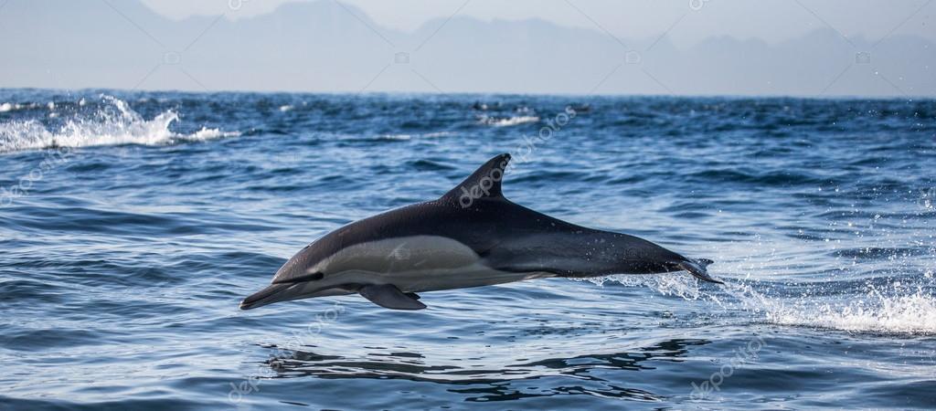 dolphin in blue sea