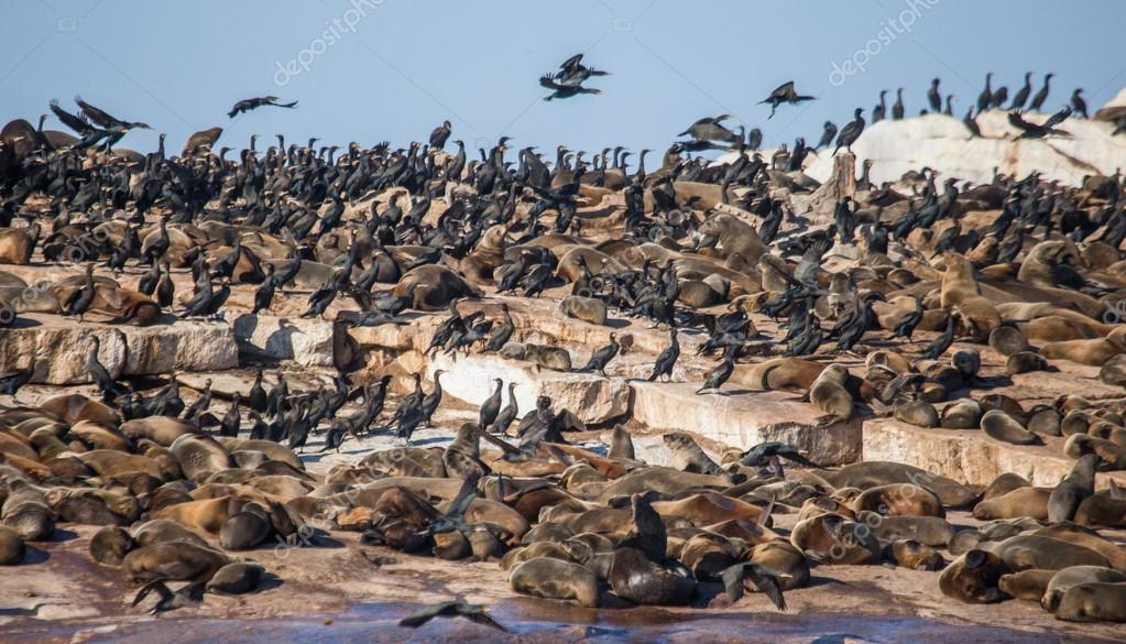 Colony of fur seals on rocky seashore