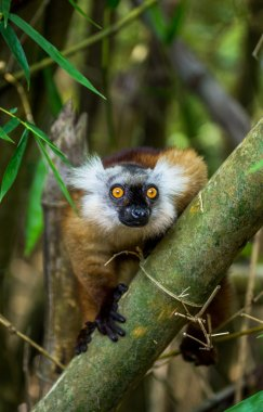 Lemur sitting on branch