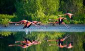 Photo Flying Caribbean flamingos