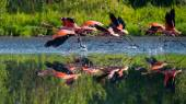 Flying Caribbean flamingos